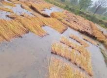 वर्षाका कारण बझाङमा पाक्नै लागेको धानबालीमा क्षति पुग्यो